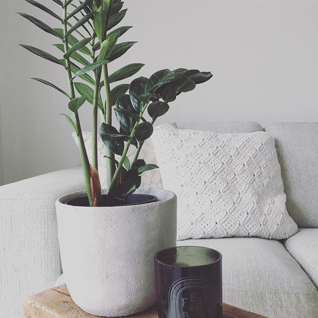 Zanibar Gem ZZ plant hardy indoor plants One Agency Shaun O'Callaghan