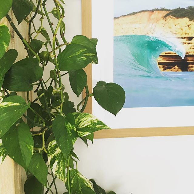 Philodendron indoor plant that won't die one agency torquay