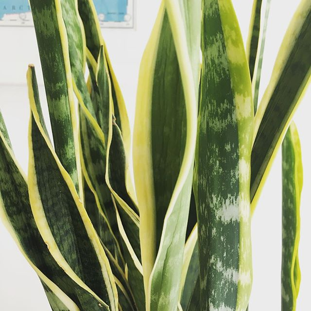 Snake plant easy to grow indoor plants One Agency Torquay
